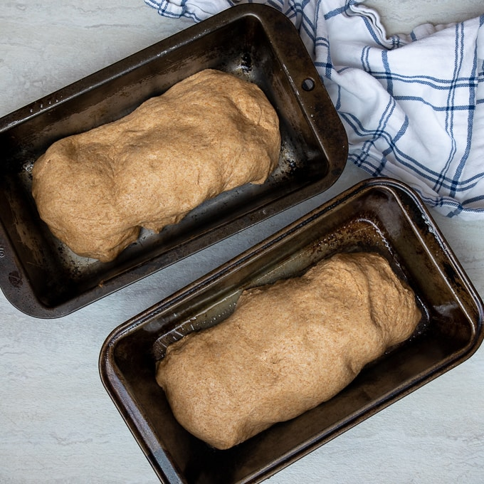 Wheat Bread Dough rising in 2 loaf pans