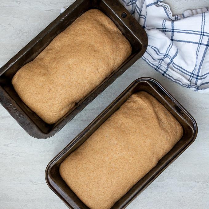 Honey Wheat Bread risen in loaf pans